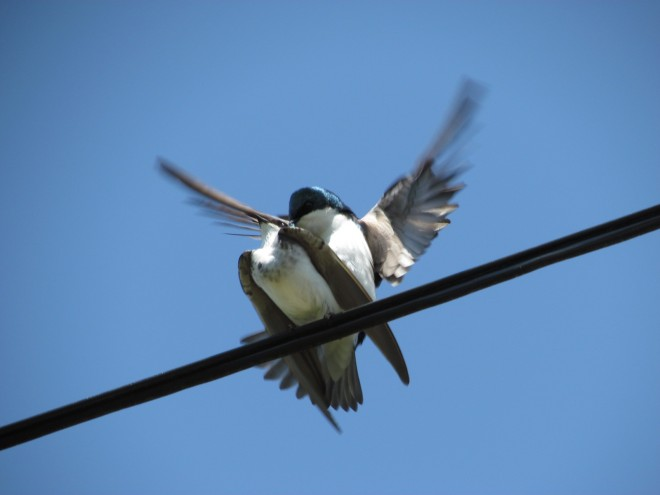 Swallow-Trysters