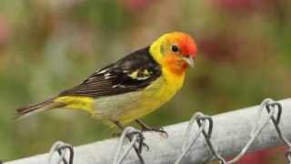 Tanager-Western-2013-05-27-220