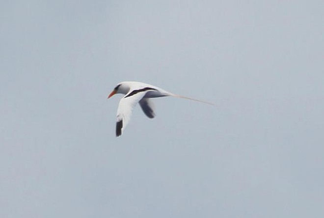White-tailed-Tropicbird55