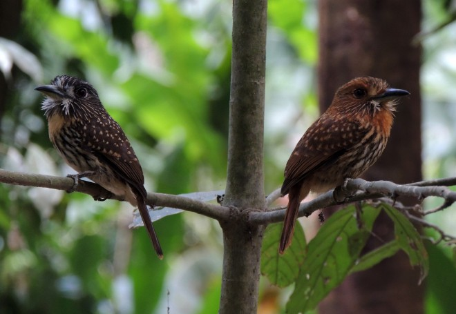 White-whiskered-Puffbird-04