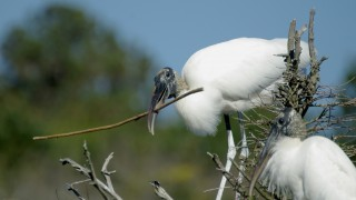 Wood-Storks