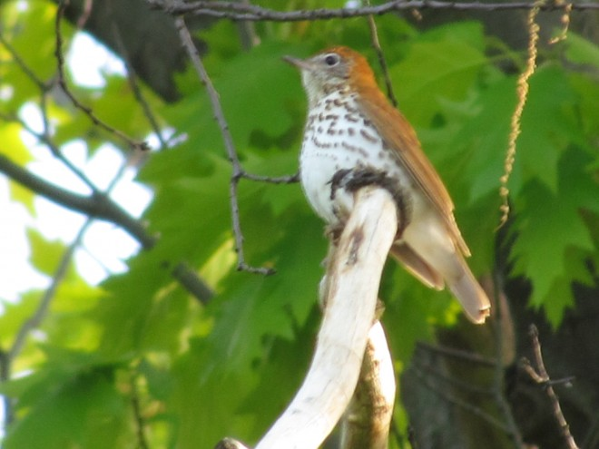 Woodthrush-file.Schiller