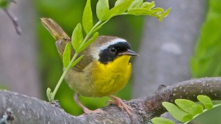 Yellowthroat-Common-13-7146