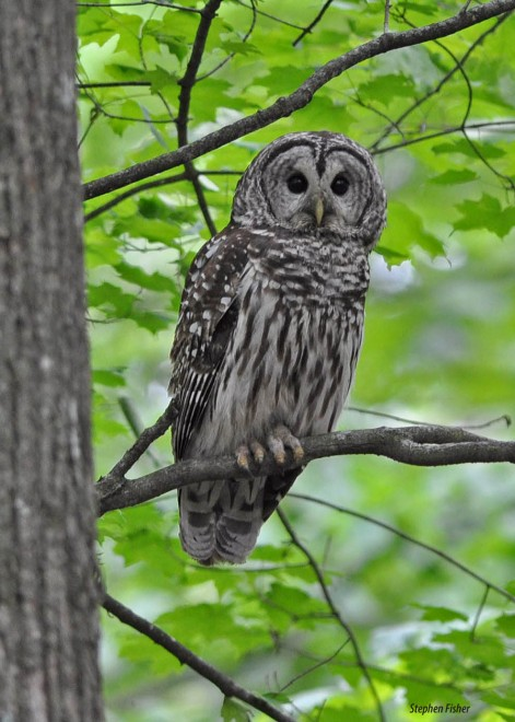 barredowl0751-copy