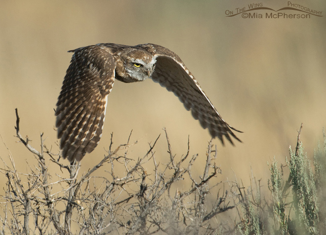 burrowing-owl-juvenile-flight-utah-mia-mcpherson-3910