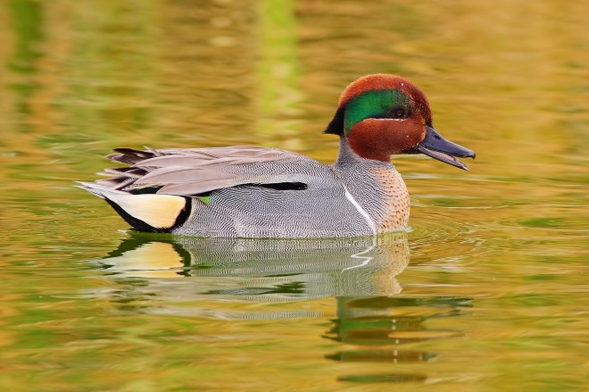 green-winged-teal-copy