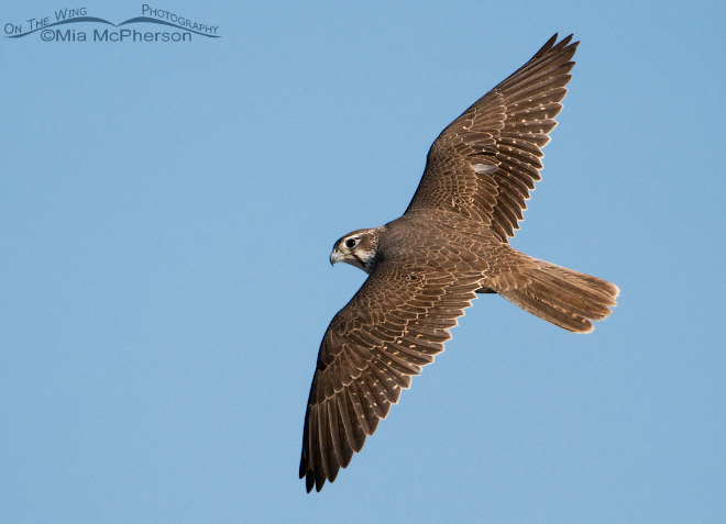 prairie-falcon-flight-mia-mcpherson-0036