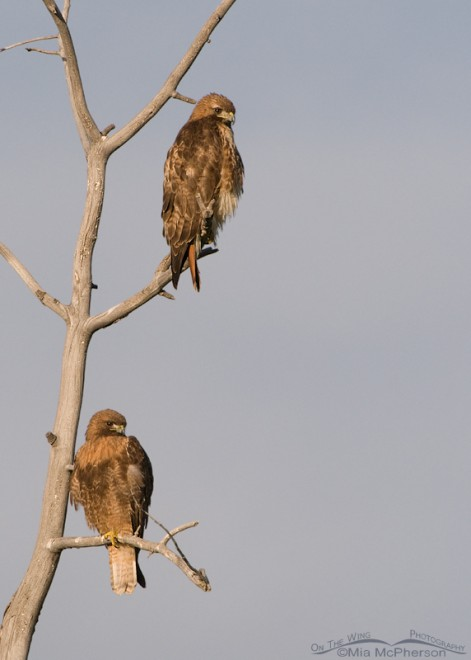 red-tailed-hawk-pair-mia-mcpherson-6504