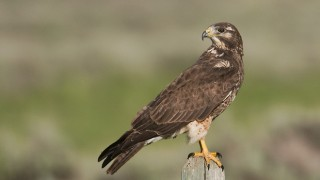 swainson-hawk-second-year-mia-mcpherson-7341