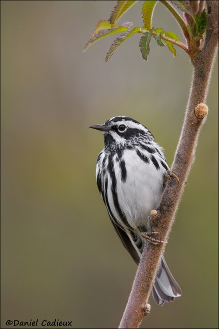 tn_Black-and-white-Warbler_6311-1