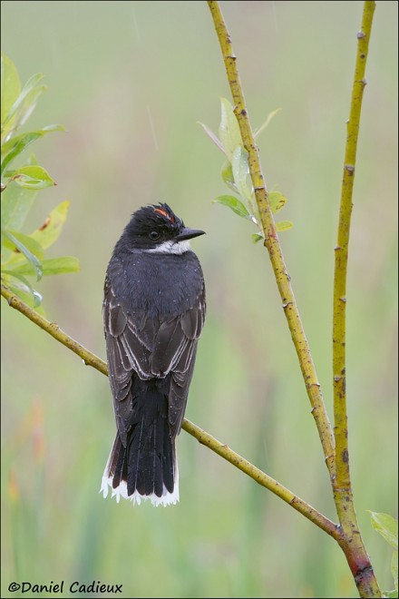 tn_Eastern-Kingbird_1523-1