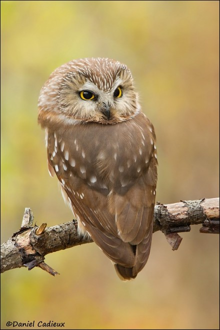 tn_Northern-Saw-whet-Owl_0957-1