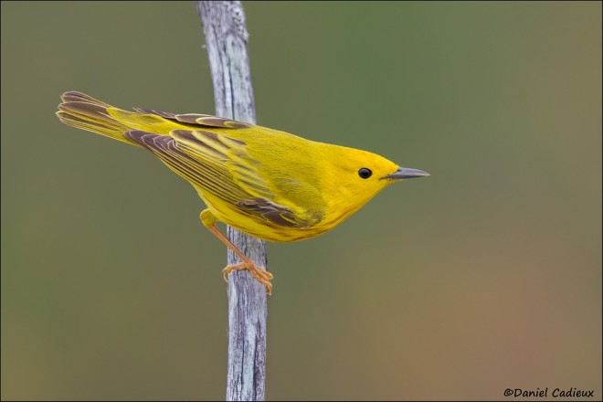 Yellow Warbler by Daniel Cadeux
