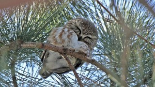 Northern Saw-whet Owl at Bartel Grasslands, Cook County, Illinois, by mike.