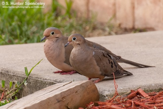 DSC_9087-Mourning-Doves