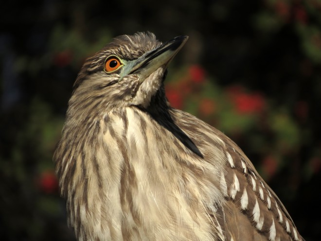 Juvenile-Black-crowned-Night-Heron