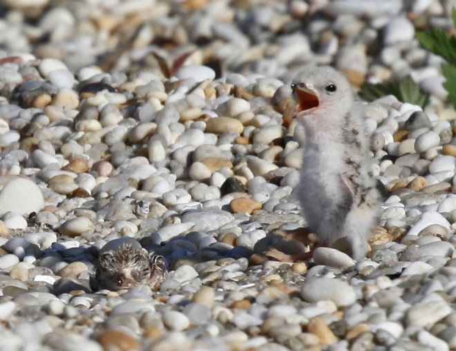 LeastTern_chick8723cropped