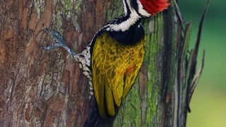 Male-Common-Flame-Woodpecker-Watermark