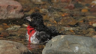 Male-Rose-Breasted-Grosbeak-Taking-Bath