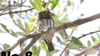 A Ferruginous Pygmy-Owl looks down from a high branch. Photo by Dominic Sherony (Creative Commons)