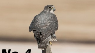 A Gyrfalcon hunts from atop a post in Alberta. Photo by Eduardo Matuod