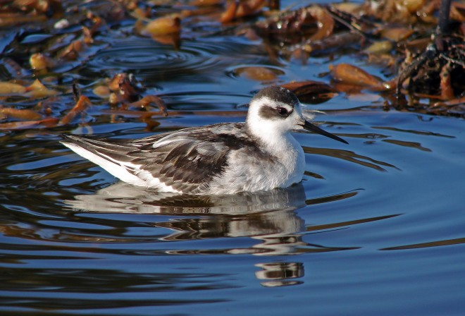 Red-necked-Phalarope-winter-plumage