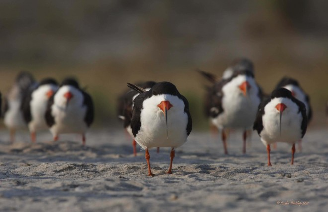 Black Skimmers at Cape May Point, New Jersey, by Linda Widdop.