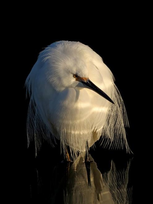Snowy-Egret