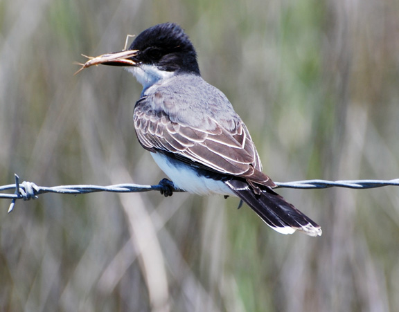 Eastern Kingbird at Anahuac NWR, Texas, May 2013, by Chengming Ben Zhu.