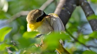 bobvt_20130711_yellowthroat203