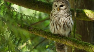 Barred Owl in Nanaimo, British Columbia, by Steve Large..