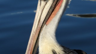 brown-pelican