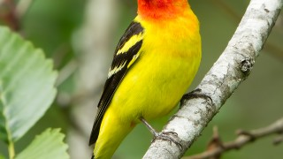 cottle_lake_tanager_2013-12