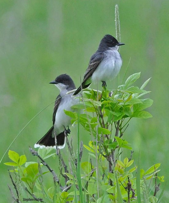 easternkingbirds0720-copy