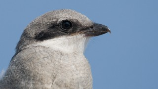 loggerhead-shrike-juvenile-close-up-mia-mcpherson-2266