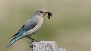 mountain-bluebird-female-prey-mia-mcpherson-7085