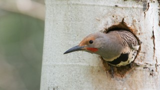 northern-flicker-mia-mcpherson-montana-5876