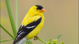 tn_American-Goldfinch_6716-1