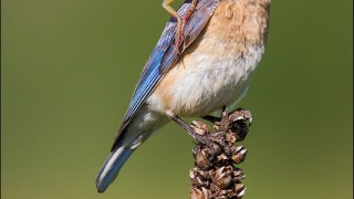 tn_Eastern-Bluebird_5858-1