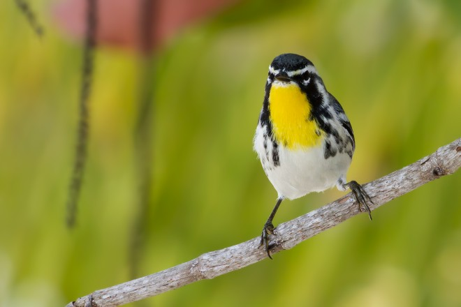 yellow-throated-warbler-6334