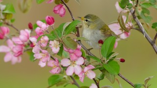 20130520_8563-tennessee-warbler
