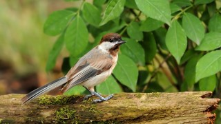 20130823_12244-brown-chickadee
