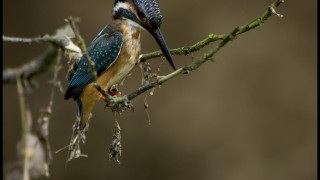 Common-Kingfisher-Watermark3885