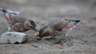 Crimson-winged-Finch-Rhodopechys-sanguineus