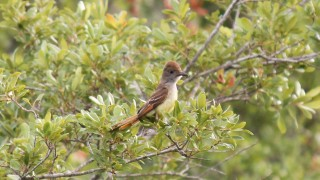 Great-Crested-Flycatcher-01