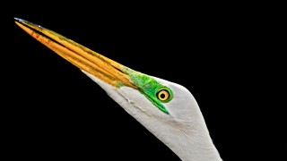 Great-Egret-at-Ding-Darling-3