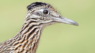 Greater-Roadrunner-closeup