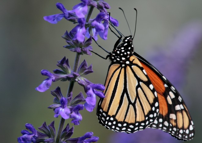 Monarch butterfly in Central Park, New York, October 2007, photo by Paul Stein (Creative Commons).