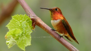 Rufous Hummingbird by Mike Wisnicki.