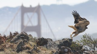 A Red-tailed Hawk lifts off from a rocky perch in the Marin Headlands in view of the Golden Gate Bridge. The hawk nests in the area and was banded a few years ago by banders at the Golden Gate Raptor Observatory. Photo by George Eade/Golden Gate Raptor Observatory
